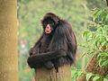 Ateles chamek SP Zoo.jpg