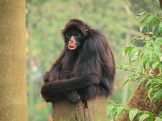 Peruvian spider monkey species of mammal