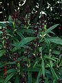 Aucuba himalaica dolichophylla - Flickr - peganum (2).jpg