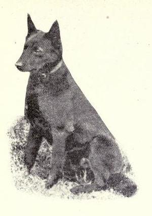 Australian Kelpie - Kelpie circa 1915