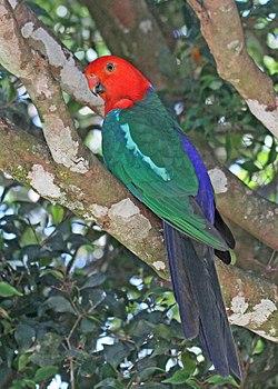 Australian King Parrot JCB.jpg