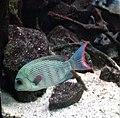 Australischer Perlmutter-Regenbogenfisch (Zoo Leipzig).jpg