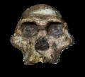 Australopithecus Africanus - Transparent Background.png