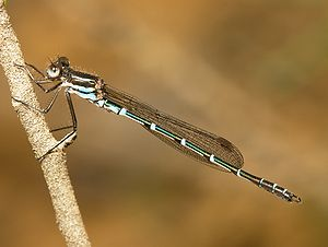 Metallic color - The dragonfly Austrolestes cingulatus (the Metallic ringtail) is noted for its naturally occurring metallic color.