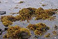 Autumnal seaweeds on the shore of Baltasound voe - geograph.org.uk - 1507658.jpg