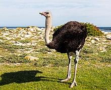 Avestruz de cuello azul (Struthio camelus australis), cabo de Buena Esparanza, Sudáfrica, 2018-07-23, DD 87.jpg