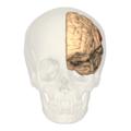 BA40 - anterior view.png