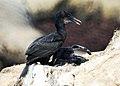 Baby Cormorants (9228377030).jpg