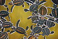 Baby turtles swimming Sri Lanka.jpg