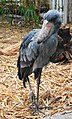 Balaeniceps rex - Zoo Frankfurt 3.jpg