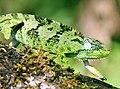 Bale two-horned chameleon (Trioceros balebicornutus).jpg
