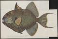 Balistes fuscus - 1700-1880 - Print - Iconographia Zoologica - Special Collections University of Amsterdam - UBA01 IZ15400071.tif