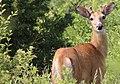 Bambi in Nashotah Park - panoramio - NaturesFan1226.jpg