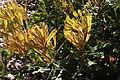 Banksia baueri foliage.jpg