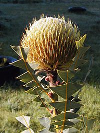 Banksia baxteri Stahl email
