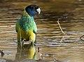 Barnardius zonarius -Karratha, Pilbara, Western Australia, Australia-8.jpg