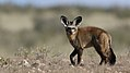 Bat-eared fox, Otocyon megalotis, at Kgalagadi Transfrontier Park, Northern Cape, South Africa (34193160744).jpg