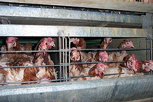 Battery cage - Chickens in battery cages showing individual cages.