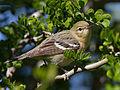 Bay-breasted Warbler by Dan Pancamo 4.jpg
