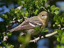 Bay Breasted Warbler Range