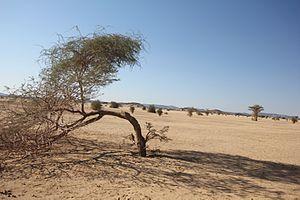 Bayuda Desert - Bayuda desert with some acacian trees