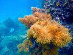 Beautiful soft corals between Gam and Waigeo, Raja Ampat.jpg