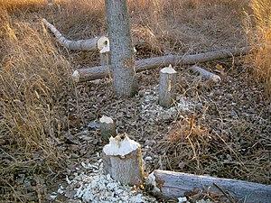 Boyer Chute National Wildlife Refuge - Image: Beaver signs