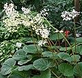 Begonia acida Blüte.jpg