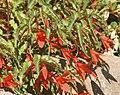 Begonia boliviensis (1).jpg