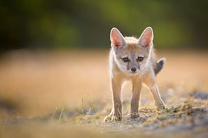Bengal fox - 2-3 week old pup at the Little Rann of Kutch; notice the black tail tip