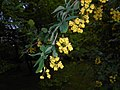 Berberis lycium 2016-05-17 0761.jpg