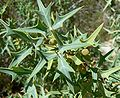 Berberis trifoliolata in spring.jpg