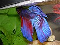Betta splendens male with bubble nest.jpg