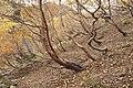 Betula ermanii 06.jpg
