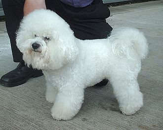 Toy Group - Image: Bichon Frise 600