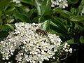Biene auf Blüte.JPG
