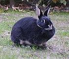 Big Silver Marten rabbit breed.jpg