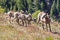 Bighorn sheep lambs and ewe (90cf7bae-2109-4e1f-9cab-969425246174).jpg