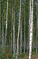 Birch grove Norway.jpg