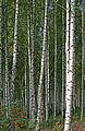 Birch grove Norway.jpg