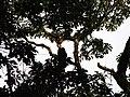 Bird Great Hornbill Buceros bicornis IMG 8659 09.jpg
