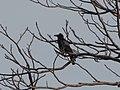 Birds of Nepal IMG 9431 06.jpg