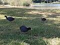 Blässhühner.jpg