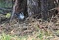 Black-and-white Warbler (documentation photos) (46346271221).jpg