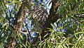 Black-crowned Night Heron (8038181959).jpg