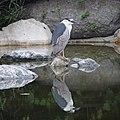 Black-crowned night heron (48049496797).jpg