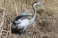 Black-headed Heron, Ardea melanocephala at Marievale Nature Reserve, Gauteng, South Africa (21086403770).jpg