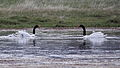 Black-necked Swan (Cygnus melancoryphus)with chicks (15955750045).jpg