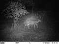 Black-tailed buck by night (7000602924).jpg