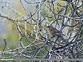 Black-throated Accentor (Prunella atrogularis) (32088256276).jpg